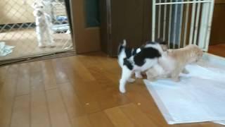 ワイヤーフォックスとレイクランドテリアの子犬たち ケリーケンネル.