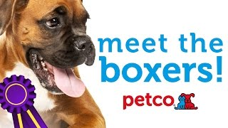 Boxer Dog Breed - Westminster 2015 (petco)