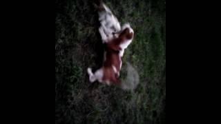 Борба собак на детской площадке
