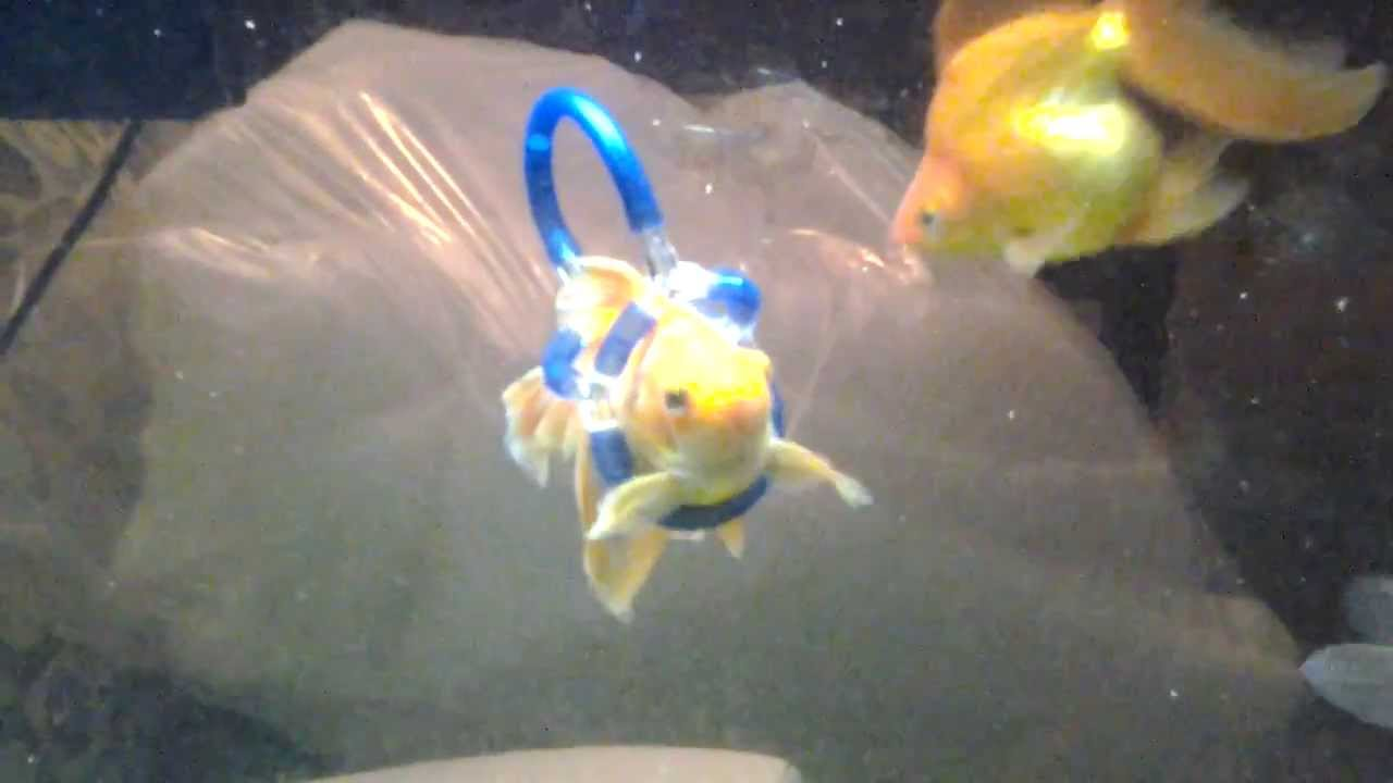Disabled fish harness swim bladder problem youtube for Fishing license for disabled person