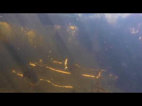 Blydenburgh County Park Lake Fish