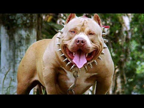 Dünyanın En Güçlü 10 Köpek Cinsi