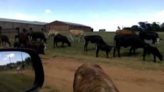 Cattle Farming in Rural SA