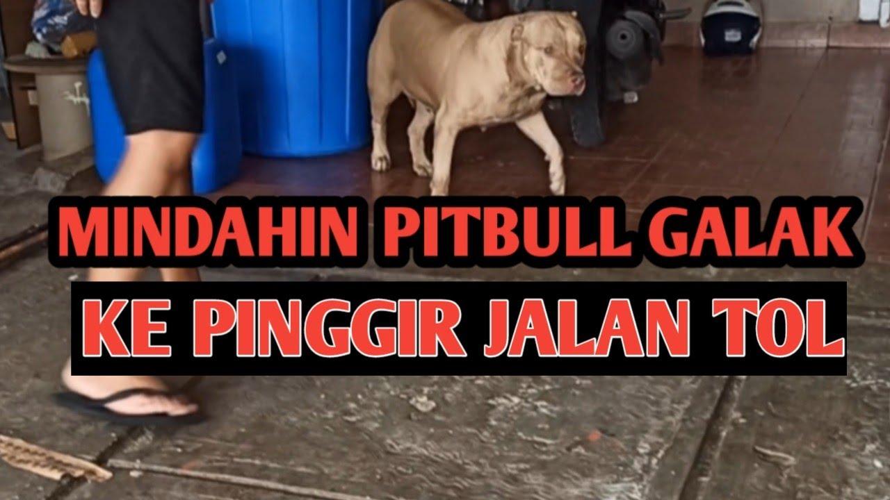 MINDAHIN PITBUL GALAK KE PINGGIR JALAN TOL