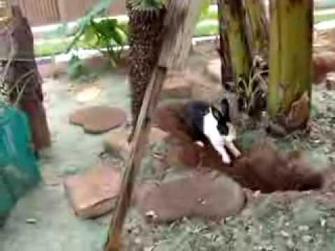 Coelha cavando túnel (Rabbit digging tunnel)