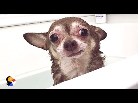 AWKWARD Chihuahua Dog Understands The Struggle | The Dodo