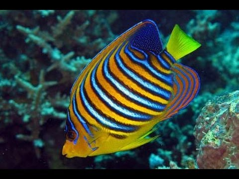 Regal Angelfish Of The Red Sea