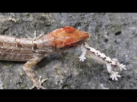 Green anole vs brown anole - photo#15