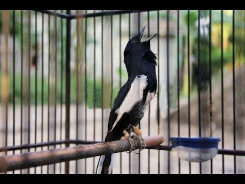 Burung Kacer Gacor Teler Gaya Ngobra Sampai Ngeplay