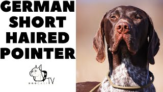 Tough German Guy! GSP  The German Shorthaired Pointer! DogCastTV!