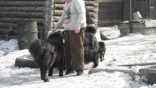 """Монгольская овчарка-банхар. Питомник """"Монголдог"""". Один день в старом питомнике."""