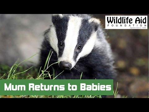 Injured Badger is Reunited with her Babies! Happy Emotional Film