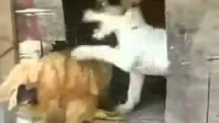 Ayam Di Ajak Wik Wik Sama Anjing, Awalnya Nolak Ehh Akhirnya.... | Jangan Liat Kalo Gak Nahan....