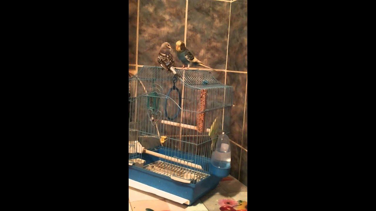 Parrot mating ( imperechere perusi )