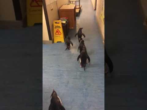 Rockhopper Penguins Scurry About Hallway