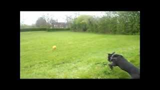 Staffordshire Bull Terrier (esme). Boxer Dog (henry). - Part 2.