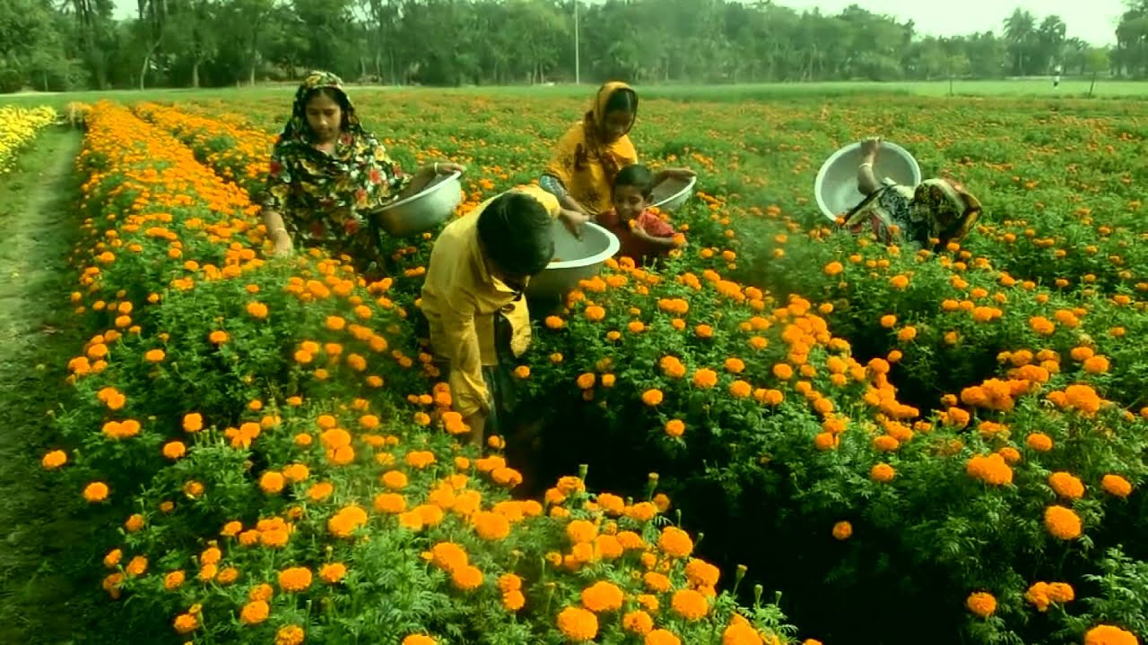 Marigold flower garden in bangladesh how to plant grow for Beautiful flowers to plant in your garden
