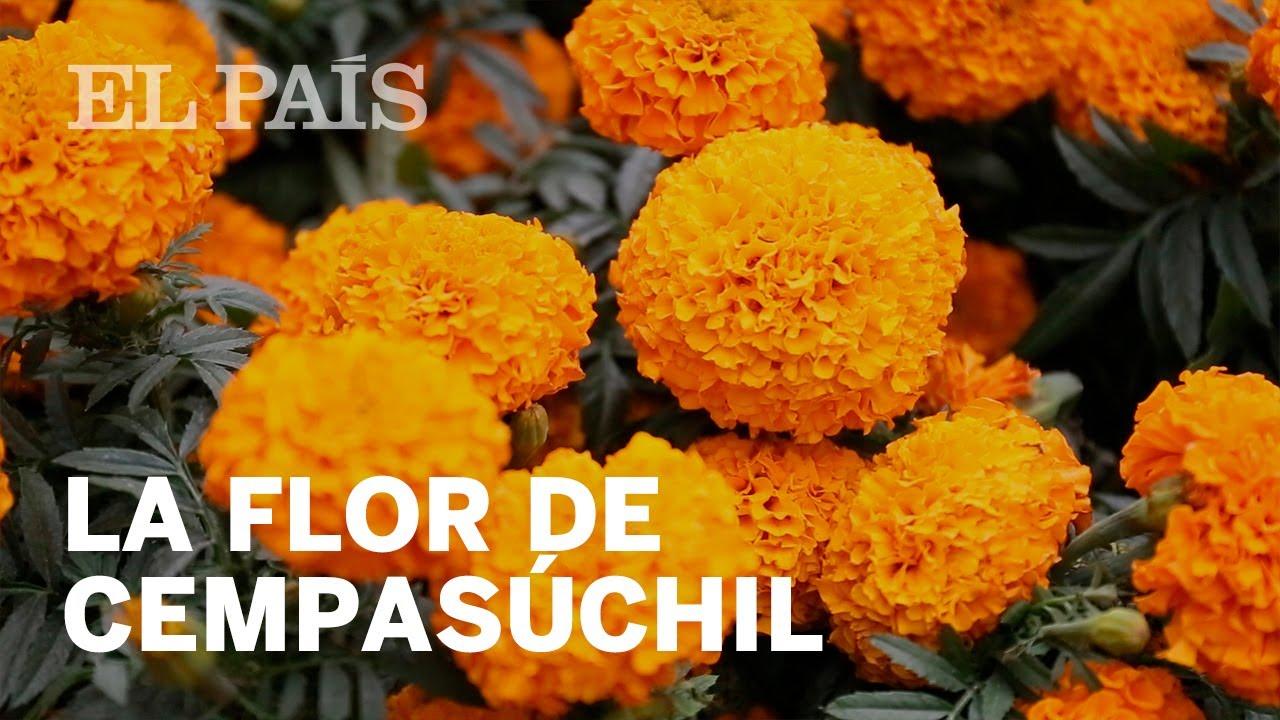 La Flor De Cempasúchil Un Camino Para Las Almas En Día De Muertos