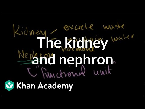 The kidney and nephron | Renal system physiology | NCLEX-RN | Khan Academy