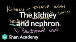 hqdefault - Where Does Excretion Occur In The Mammalian Kidney