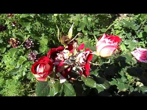 Прожорливые жуки съели мои розы