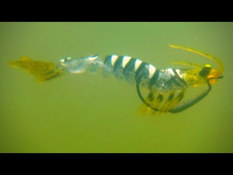 Can This 3D Printed Shrimp Catch Fish?