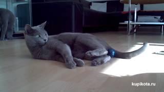 Русская голубая кошка - породы кошек
