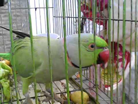 sindhi talking  parrot..!.3GP