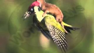 Weasel on woodpecker  'Extraordinary to have captured'