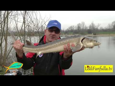 Mondo Pesca  - Storioni al Lago Segugio di Pizzighettone - CR -