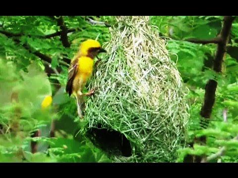Unique Bird Baya Weaver Nest Construction Amazing Footage