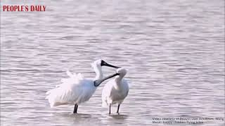 Two black-faced spoonbills were spotted preening in the water at an urban park in Shenzhen