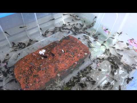 Tadpoles Do Eat Fish