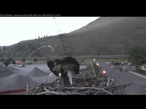 Hellgate ospreys Iris and Stan 6/13/15 **Change video setting to HD****
