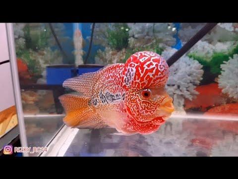 best-louhan-fish