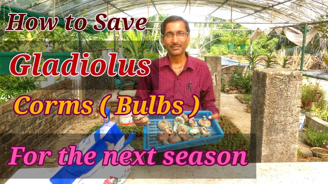 SOS How to save bulbs of gladiolus before planting from thrips