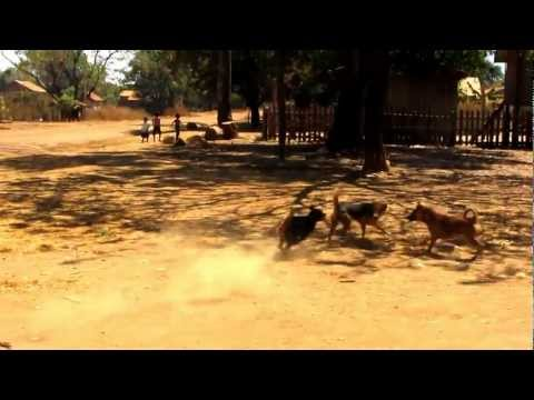 Ratanakiri, Cambodia - Jungle Trek Dog Fights
