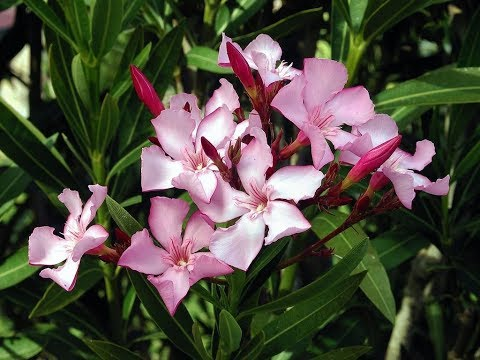 Amazing and Most Beautiful Nerium Flowers | Oleander Flowers