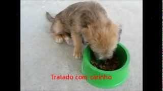Eddie Meu Cãozinho De Estimação - Poodle Misturado Com Yorkshire (yorkiepoo)