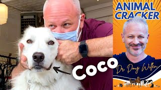GREAT PYRENEES gets Chiro Adjustment from the ANIMAL CRACKER! (ReRelease)