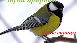 Звуки природы для детей ♪ Голоса птиц для детей ♪ Синица