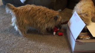 Cairn Terriers' Christmas Morning