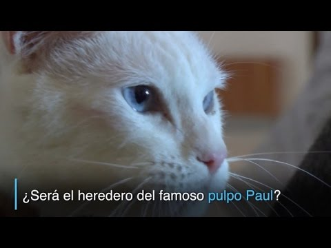 El gato Aquiles ¿heredero del pulpo Paul?