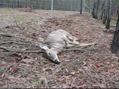 Deadly Deer Fence Youtube