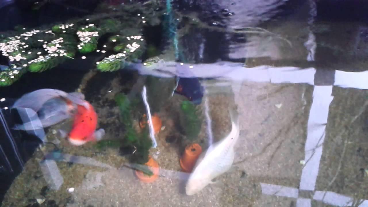 Fancy Goldfish In Indoor Pond Youtube