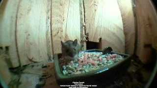 Speeded up video of mouse visiting my mammal stump