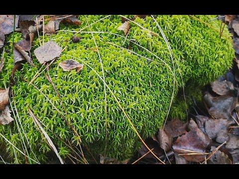 Лесной мох сфагнум. Как отличить и как сохранить живым.