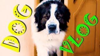 Что обо мне сказала камера Bixby. DogVlog / Собака медведяка Московская сторожевая Булат