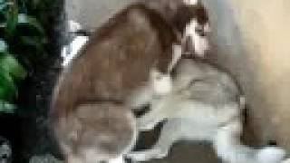 Harlen & Lola 2 (siberian Huskies)