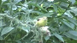 backyards-gone-wild-goldfinch